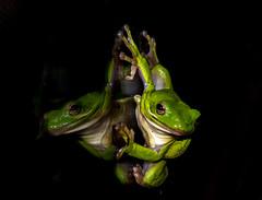 Green Tree Frog (CharlieVA) Tags: greentreefrog treefrog peeper frog reflection nikon nikond7200 macro nikon105mm28microlens southernmaryland calvertbeach