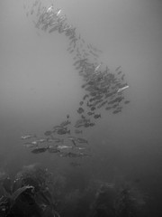 PA060311.jpg (Michael Bartosek) Tags: olympusepl3 catalinaisland olympus1442mm underwater catalina diving california pacificocean