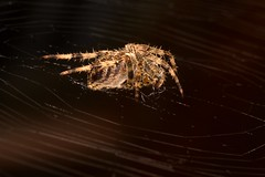 Beauty or the Beast? (Tyrone Williams) Tags: web spider orb silk nature wildlife insects autumn october7d macro extensiontube 70200lf4