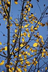 Aspen (em_burk) Tags: canon arizona tree fall autumn blue yellow sky leaf aspen golden goldandblue backlit backlighting light mountgraham pinalenos skyisland coronadonationalforest trees coronado
