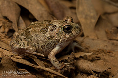 Ornate Burrowing Frog (J.P. Lawrence Photography) Tags: 2016 amphibians amphibia amphibian anura anuran australia2016 frog frogs herp herpetology herps myobatrachidae salientia spring2016 travel vertebrates vertebrata vertebrate australia limnodynastes limnodynastesornatus ornateburrowingfrog ornatefrog platyplectrumornatum queensland