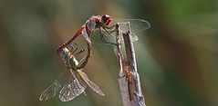 You Light Up My Life ........................... (nick.linda) Tags: odonata redveineddarterdragonfly dragonflies sympetrumstriolatum whitneyhouston youlightupmylife insects insectsmating wildandfree canon7dmkii canon100400