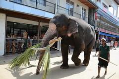 Tusker on the street.. (Dunstan Fernando) Tags: tusker elephant srilanka asianelephant dunstan dunstanphotography pinnawala elephantorphanage nikon nikkor outdoor road