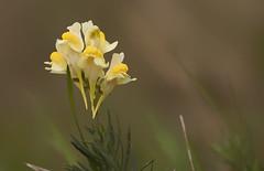 Peut tre les dernires de l'anne (mrieffly) Tags: fleursdautomne jaunedor bokeh canoneos50d 100400issriel
