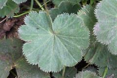 Lady's Mantle Leaf (non-native) (corey.raimond) Tags: ladysmantle flower garden alchemillasp kirkland kingcountywashington washington washingtonstate alchemilla