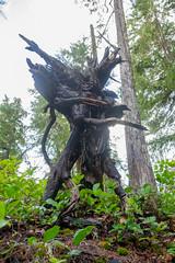 DSCF4273 (LEo Spizzirri) Tags: bevin morgan peter odin huck huckleberry shug cabin northwest seattle forest pacific mushroom moss josh betsy ladder green thick