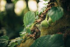 ( Nino) Tags: fig figs