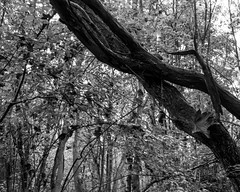 Twisted Hawthorne (Hyons Wood) (Jonathan Carr) Tags: hawthorne tree foliage abstract abstraction rural northeast landscape black white bw largeformat 4x5 5x4 toyo45a monochrome