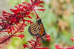 Monarca (Danaus plexippus) (Manolo G.A.) Tags: danaus plexippus monarca canon 50d 18200mm mariposario njar almera mariposa butterfly
