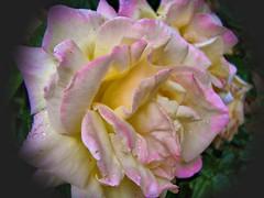 La rosa (marian950) Tags: la rosa