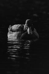 Low - Key - duck (ralfkai41) Tags: duck monochrom vogel wasser ente animal schwarzweis swimming bird sw bw reflection tier schwimmen water blackwhite schwarzwei reflektion low key lowkey