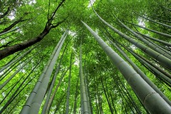 Bamboo forest -Sagano Bamboo Forest (cattan2011) Tags: travelblogger traveltuesday travel trees landscapephotography landscape natureperfection naturephotography nature   japan kyoto saganobambooforest bambooforest
