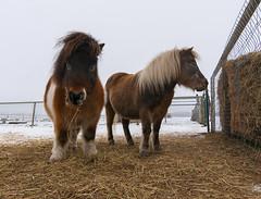 What? (Len Langevin) Tags: miniature horse farm animal equine pony alberta nikon d300s tokina 1116