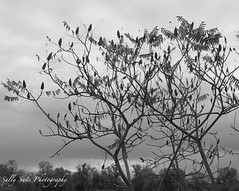 IMG_0581 - Version 2 (Sally Knox Sakshaug) Tags: fall autumn october outdoors nature leaf leaves black white blackwhite bw contrast sumac bush tree silhouette trees background sky branches ominous dark flower flowers