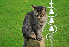 Jonas (ute_hartmann) Tags: jonas kater cat katze stein grabstein garten