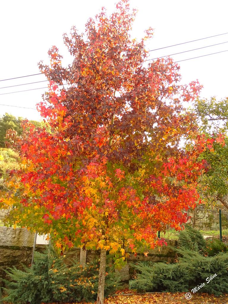 Águas Frias (Chaves) - ... árvore pintalgada de outono ...