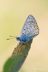 Polyommatus icarus (lubo.krupa) Tags: 500px butterfly butterflies macro close up closeup detail pentax tamron 90mm