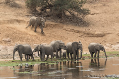 47-South_Africa-2016 (Beverly Houwing) Tags: banks crocodileriver drink elephant herd krugerpark southafrica water family join group