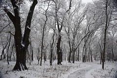 Stopping by the woods (marensr) Tags: trees branches snowstorm stormy woods grasses snow snowy winter nature west ridge preserve chicago path lane way road