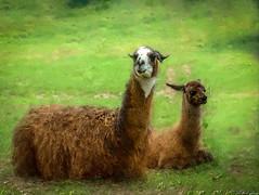 Llamas (kenmojr) Tags: llama llamas kenmo kenmorris animal animals critters critter creatures creature mammal mammals resting rest lama lamas wooly hoof hoofed zoo oaklawn friends friend friendly smile smiling grin grinning smiley