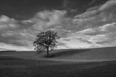 Tret (Kent 40D) Tags: ricohgr ricoh tr sh skyer mark linier skygger clouds tree blackandwhite monochrome outdoor cloud plant sky