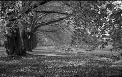 VoigtlanderBessaII-315-APX25-exp2005-14min-Rodinal-3 (photo:::makina) Tags: nature autumn leaves voigtlander bessa ii color heliar agfa apx25