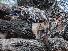 Tanzania_Z7_1193 (Pixelatr) Tags: tanzania manyara 2016 juvenile marshall eagle eating mongoose
