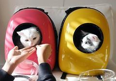 Space cats  #goboogi #chobee #munchkin #cat # # # # # # # # # # # # (Goboogi.Munchkin) Tags:     goboogi  munchkin  chobee  cat
