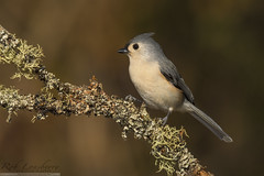 Tufted Titmouse (Rob Lonsberry Photography) Tags: bird avian tuftedtitmouse nature fall nikon 500mm fl nikond500 roblonsberry goodlight nikon500mmfl supertelephoto wildlife