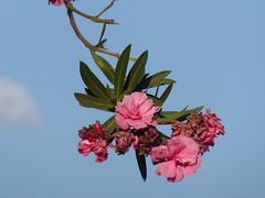 Oleander branch (prondis_in_kenya) Tags: kenya nairobi shortrains oleander bush tree branch flower pink red