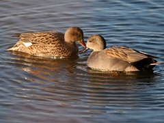 Pair of Gadwall (robin denton) Tags: yorkshirewildlifetrust northcavewetlands ywt wildlifetrust bird waterbird yorkshire duck gadwall anasstrepera