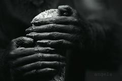 hände.. (margali59/sowenigzeit) Tags: hand hände primat affe mangabe
