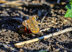 Mid-November Butterfly (Gabriel FW Koch) Tags: butterfly magnoliaseeds resting wild insect wildlife flyinginsect outside wings beauty beautiful closeup canon telephoto eos dof