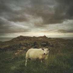 The Loner (M a r i k o) Tags: iphone iphone6s iphoneography iphonephotography mobile mobilephotography mariko square sheep schaf grazing lone loner grass clouds cloudy water ocean nesland lofoten norway norge norwegen hipstamatic phototoaster lenslight picfx snapseed