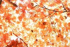 DSC06990 (@saka) Tags: autoupload leaves 481490 flowers 42004204