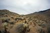 cholla (rovingmagpie) Tags: california palmsprings indiancanyons indianpotrerotrail chollacactus chollaforest stonepools cholla cactus desertforests df2016