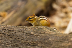 Chipmunk (A Great Capture) Tags: highpark high park eos digital dslr natur nature naturaleza natura outdoor outdoors woods wood log tree wild agreatcapture agc wwwagreatcapturecom adjm ash2276 ashleylduffus ald mobilejay jamesmitchell toronto on ontario canada canadian photographer northamerica spring springtime 2016 rodent sciuridae