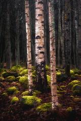 Old graveyard (Olli Tasso) Tags: old graveyard kalmisto grave vesilahti finland suomi autumn fall dark moss green birch forest tree landscape scenery maisema pivniemi lempl hautarykki mets