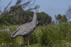 Cape Barren Goose (R. Francis) Tags: capebarrengoose cereopsisnovaehollandiae phillipisland phillipislandnaturepark ryanfrancis ryanfrancisphotography victoria vic gosling capebarrengosling