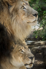 Soulmates (Penny Hyde) Tags: bigcat lion sandiegozoo flickrbigcats