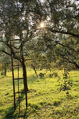 Time to gather olives (Tania Perizzolo & Roberto Porcellato) Tags: olives tree staircase oil sun green nature kmzero valrovina bassanodelgrappa agriculture