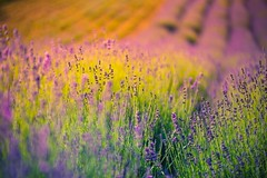 Summer flowers (icemanphotos) Tags: lavender summer mood sunset foliage meadow bokeh dimamanuel