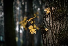 Bcsz,megsrgult falevelek.. (tferi666) Tags: autumn nature amazing nice best beautiful sony ilce next alpha a6300 sonyflickraward sonyflickrawardgold ngc iskolakert zempln
