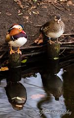 Mandarin duck pair (gildor86) Tags: canon eos 600d warsaw royalgardenazienki poland mandarinduck duck stream reflection m42 tair11a bird water autumn november nature azienki kjphotography