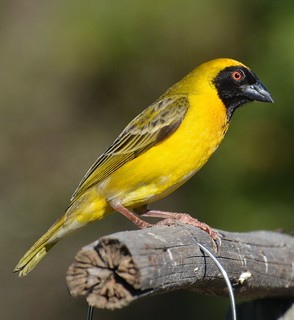 Southern Masked Weaver Franschhoek tagged