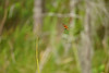 DSC08470.jpg (joe.spandrusyszyn) Tags: celithemis orlando odonata nature insect halloweenpennant unitedstatesofamerica celithemiseponina dragonfly byjoespandrusyszyn libellulidae florida tibetbutlernaturepreserve animal arthropod pennant anisoptera