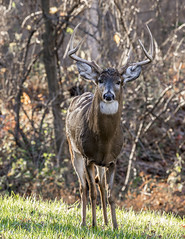 White Tail Buck (jerryherman1) Tags: wildlife maryland whitetail buck