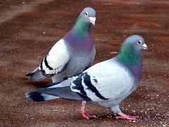 1 December 2016 Dawlish (19) (togetherthroughlife) Tags: 2016 december dawlish bird pigeon devon