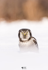 Chouette pervire/ Northern hawk owl (pascaleforest) Tags: oiseau bird animal passion nature nikon fauna wild wildlife qubec hibou owl canada winter hiver snow neige regard look