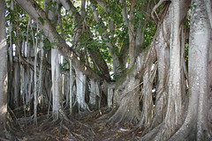 Banyan Tree Beauty AB (groecar) Tags: banyantree tree trees